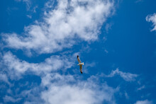 One White Sea Gull Flying In The Blue Sunny Sky Over The Coast Of Atlantic Sea, In The Azores Islands, Portugal. Bottom View.