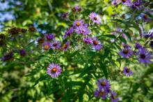 Closeup Shot Of Purple, Beautiful Michaelmas Daisy Flowers Under The Sun