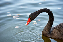 Close-up Of A Beautiful Black Swan Floating On The Lake Surface