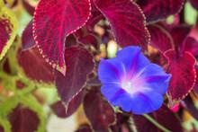 Morning Glory Bloom Grows Through Coleus Plant