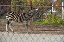 Zebra Behind The Fence At The Zoo.