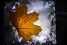 Frozen Leaves Are Under Thin Ice Layer