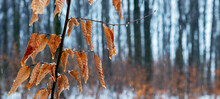 Tree Branch With Withered Leaves In Winter During Thaw Or Late Autumn In Wet Weather