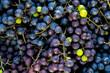 kiście winogron, dojrzałe winogrona, zbiory winogron, pojedyncze zielone winogrona na kiściach