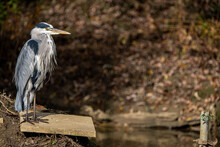 Grey Heron Stood On A Concrete Fishing Platform Looking Over The Junction Of The River Ouse And River Tove