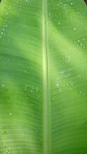 Green Leaf Texture Banana Leaves Look Like Large Leaf Plates Water Droplets On Leaves