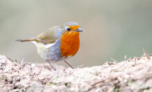 Closeup Of A Robin Redbreast On A Blurred Background