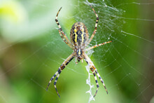 Argiope Bruennichi (wasp Spider) On Web, Invasive Species Of Orb-web Spider Distributed Throughout Central Europe, Czech Republic Wildlife. Czech Republic, Europe Wildlife