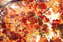 Autumn Maple Leaves, Beautiful Nature In Autumn, The Sun's Rays Pass Through Oak  Multicolored Leaves