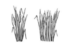 Black Reeds Sketch Set In Vintage Style. Vector Retro Illustration Element. Spring Floral Nature Background Vector.