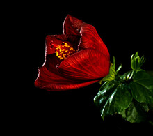 Red Hibiscus With Black Background.
