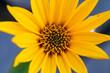 Kwiaty topinamburu, Kwiaty topinamburu w z bliska, kwitnące kwiaty jesienią