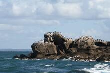 Colonie De Cormorans Sur Les Rochers Aux îles Chausey En Normandie