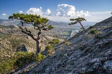Mountain Pines On The Slope Of Mount Sokol Falcon In Republic Of Crimea. Back Sea