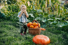 A Little Boy In A Plaid Shirt Stands Next To A Basket Of Pumpkins And Eats Corn.. Preparing For The Holiday, Harvesting, Halloween
