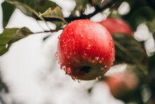 Ripening Wet Red Apple On The Tree