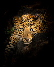 Indian Wild Male Leopard Or Panther Resting On Big Rock In Isolated Black Background In Forest Of Central India - Panthera Pardus Fusca