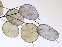 Lunaria Annua, English Name Honesty Or Annual Honesty, Dried Stalk With Silvery Seedpods (silicles) 2