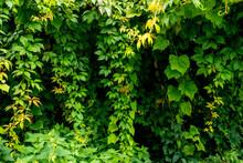 Zielone Kolumny Z Liści, Wiszące Liście, Zarośnięte Bluszczem Przestrzenie