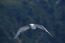 Mediterranean Seagull Audouin's Gull Mid Air Shot