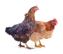 Two Big Chickens.
