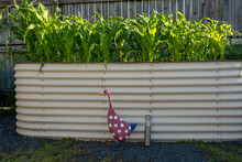 Raised Home Garden Bed Full Of Young Corn Plants With A Decorative Duck In The Foreground