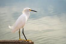 Close-up Of Snowy Egret (Egretta Thula).