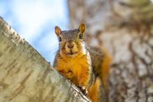 Eastern Fox Squirrel (Sciurus Niger) Sitting On A Tree.