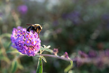 A Big Furry Bumble Bee Pollinates A Purple Flower.  Shot With A Shallow Depth Of Field.