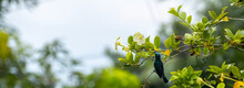 Loten's Sunbird Sipping Nectar In The Garden.