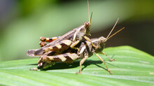 Horizontal Shot Of Two Brown Grasshopper's Mating In The Garden On A Large Green Leaf Under Bright Daylight