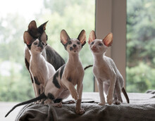 Four Cornish Rex Kittens Sitting On A Bed
