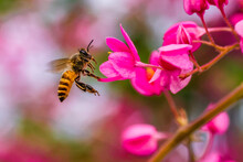 Bee Hovering Next To A Pink Flower, Indonesia