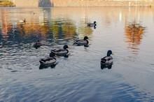 Group Of Mallard Ducks Swimming In A Pond