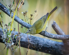 Orange-crowned Warbler Perched On A  Branch, Canada