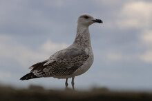 Seagull On The Sea. Looks Into The Distance Of The Black Sea.