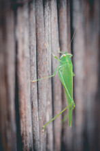 Close-up Of A Grasshopper On A Fence, Spain
