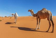 Three Camels In The Desert, Saudi Arabia