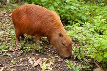 Specimen Of Hydrochoerus Hydrochaeris, Or Capybara, A Big Rodent, In The Amazon Rainforest, At The Dos Loritos Wildlife Rescue Center, Peru