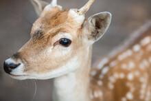 Closeup Shot Of Spotted Deer