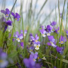 Wild Pansy (Viola Tricolor) Flowers And Green Grass Close-up. Beautiful Purple Wildflowers. Idyllic Summer Rural Landscape. Nature, Seasons, Summer, Environment. Macro Photography, Graphic Resources