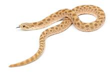 Western Hognose Snake (Heterodon Nasicus) On A White Background