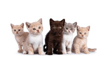 Row Of 5 Various Colored British Shorthair Cat Kittens, Standing And Sitting Together. All Facing Camera. Isolated On On White Background.