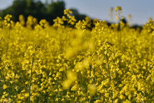 View Of Yellow Rape Or Canola Field. Rapeseed (Brassica Napus) Oil Seed Rape. Shallow Depth Of Field