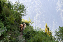 Traffic On High Caucasian Trail In Georgia. Two Cows Crossing A Narrow, Steep Pathway. There Are A Lot Of Bushes Around The Slope. Sunbeams Reaching The Slopes In The Back. Animal In Natural Habitat.