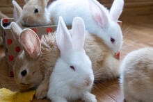 A Bunchy Of Cute White And Fawn Coloured Flemish Giant Bunnies In A Box And Lying Around