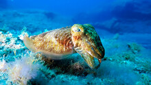 Beautiful Cuttlefish Hovering Over The Bottom