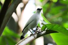 "The Beautiful Bird Standing On Tree, The ""blue Eye Shadow"" - Bali Myna (Leucopsar Rothschildi, Also Known As Rothschild's Mynah, Bali Starling, Or Bali Mynah, Locally Known As Jalak Bali)"
