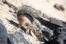 Barbary Ground Squirrel, Fuerteventura, Spain