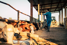 Young Farmer Wearing Blue Overall While Feeding Cereal To Calves On His Farm